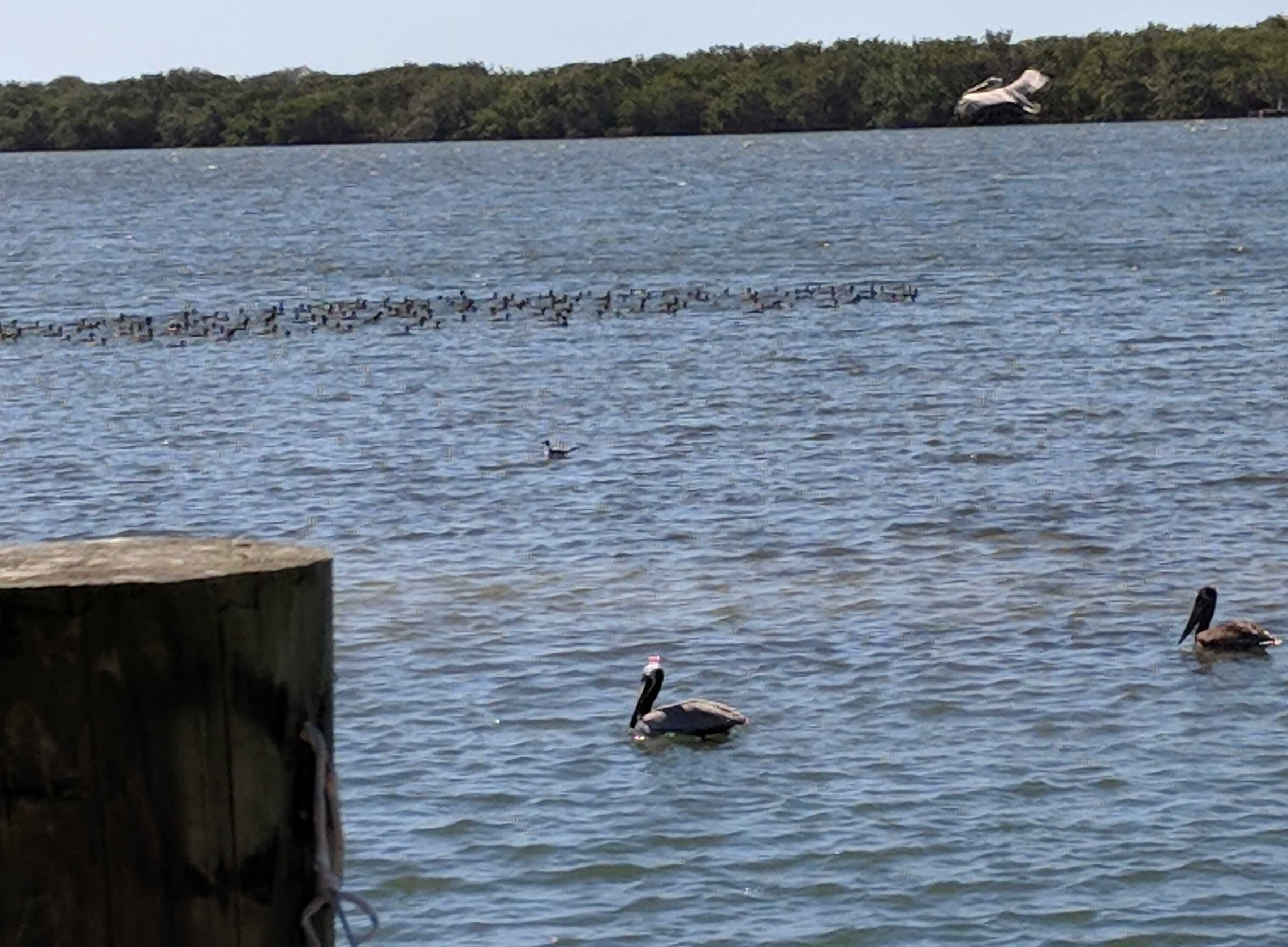 Pelicans at Swordfish Grill