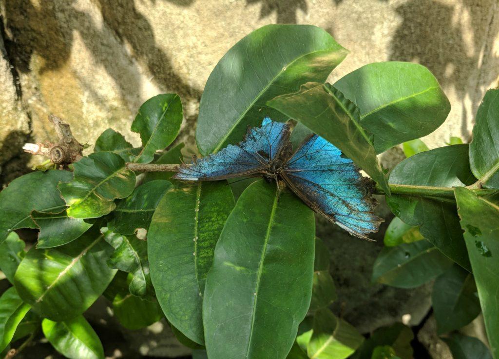 Blue Butterfly Henry Doorly Zoo Omaha NE