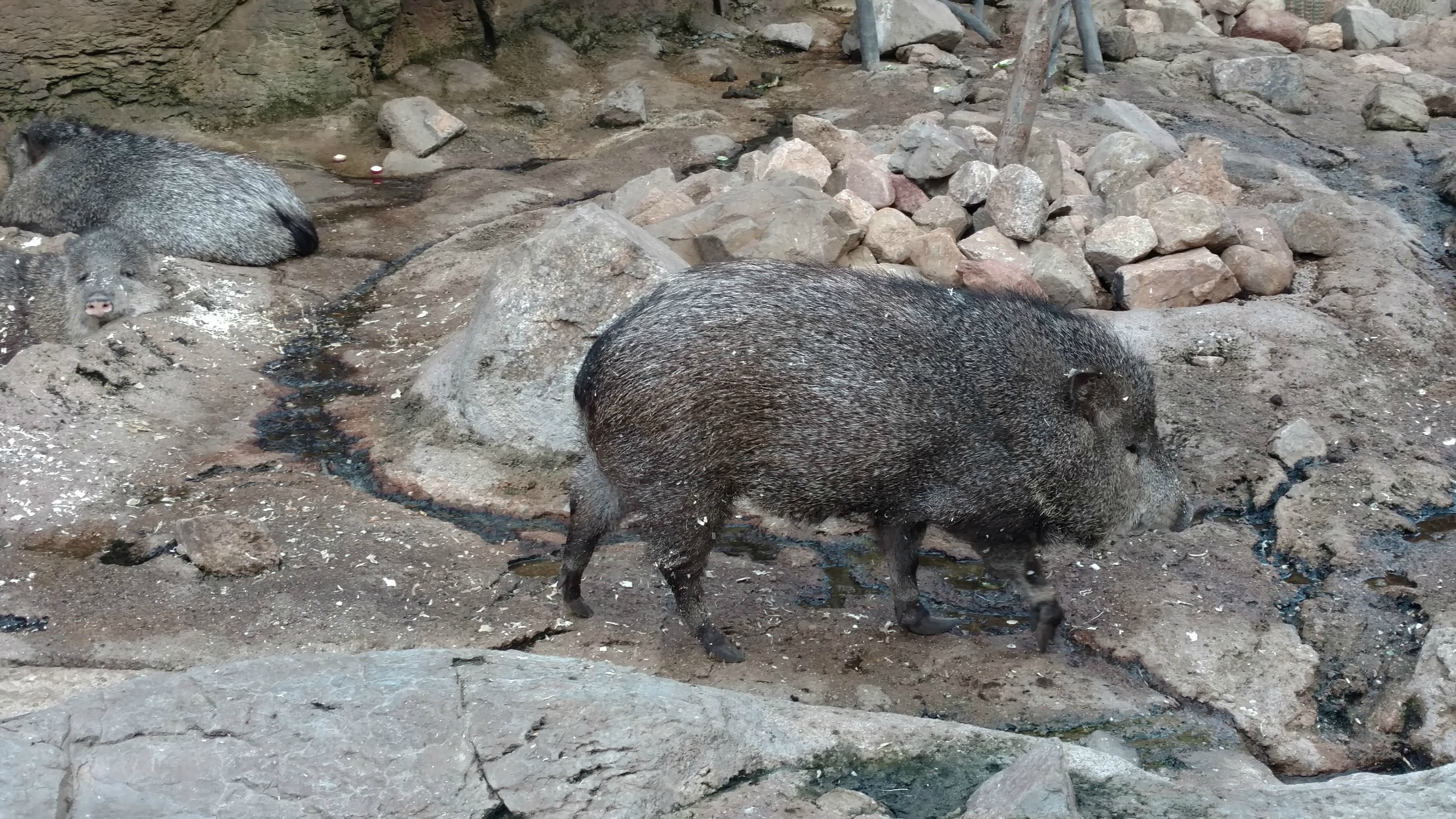 Peccary Desert Dome Henry Doorly Zoo